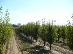 باغ مادری سیب برای تهیه پیوندک
