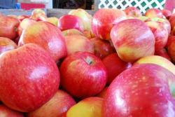 سیب گالا رویال  از ارقام تولیدی  نهالستان  البرز شاهرود