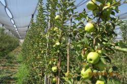سیب گلدن روی پایه  EM9  باپوشش  توری  ضد تگرگ در مشهد
