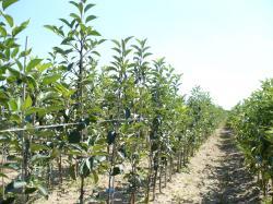 نهالستان سیب پایه رویشی با شاخه ای فرعی