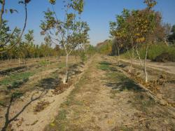 باغ مادری گردو برای تهیه پیوندک در نهالستان پاکدشت