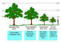 مقایسه ارتفاع درخت روی  پایه های رویشی  مختلف در سیب