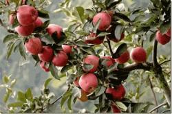 سیب رد دلیشز   تولید نهال در  شاهررود نهالستان البرز