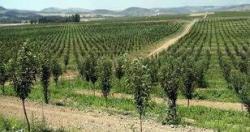 باغ سیب در اراضی شیب دار روی پایه MM106