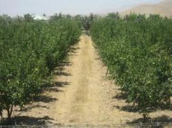باغ سیب رقم گلدن روی پایه MM111  دماوند